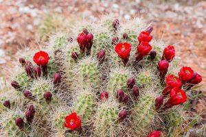Cactus Plant Photograph